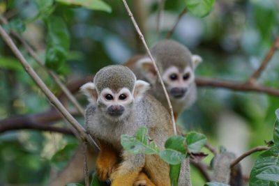 Deux singes « macacos de cheiro » en Amazonie brésilienne